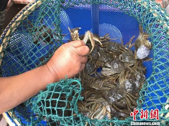 被捕上来的阳澄湖大闸蟹。 徐珊珊 摄