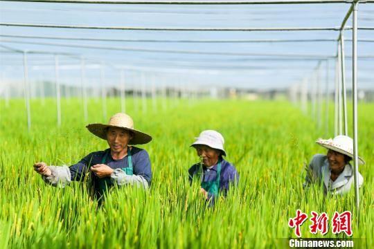 """图为农民在""""蚊帐水稻""""田间劳作。 汤德宏 摄"""