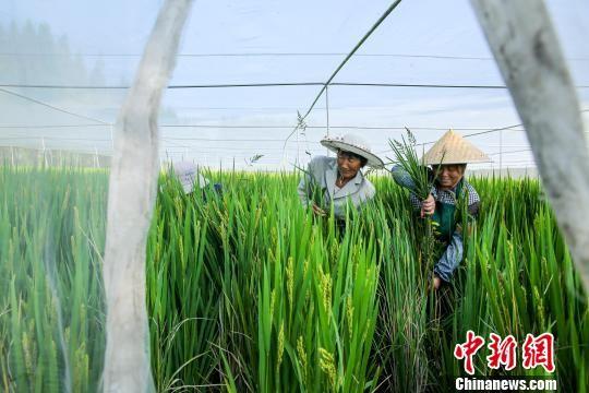 """图为泰州120亩农田撑起白色""""蚊帐""""种植水稻。 汤德宏 摄"""