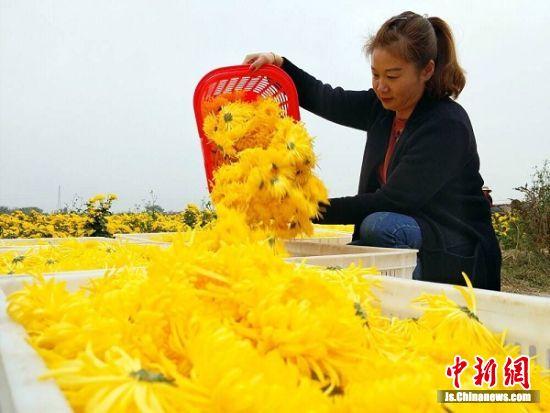 农民将采摘的皇菊装框。 蔡珊珊 摄