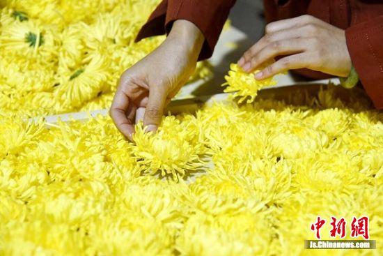 品相好的皇菊每朵可卖到10元。蔡珊珊 摄