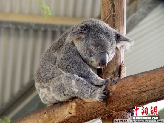 南京市红山森林动物园提供的考拉睡觉照片