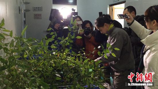 饲养员修剪考拉常食的枝叶