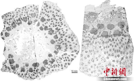图为新疆塔城地区晚泥盆世枝蕨类植物Xinicaulis 茎干横切面。左图为一个较小树干的完整横切面,右图为一个较大树干的局部。中国科学院南京地质古生物研究所 制图