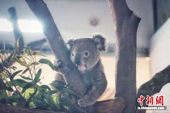 入住南京红山森林动物园的考拉