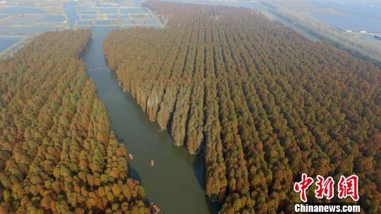 """图为兴化""""水上森林""""。(资料图) 孟德龙 摄"""