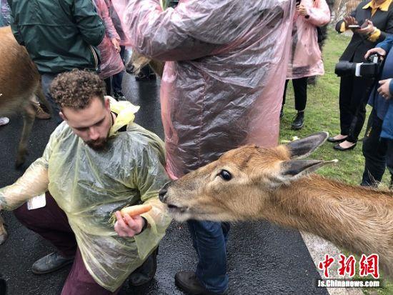 外国人与麋鹿互动