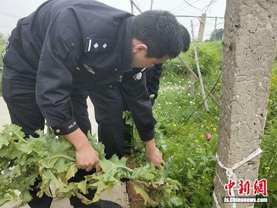 民警铲除罂粟