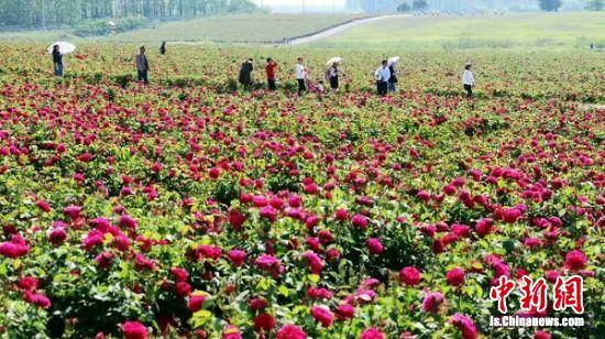 句容后白千亩玫瑰庄园