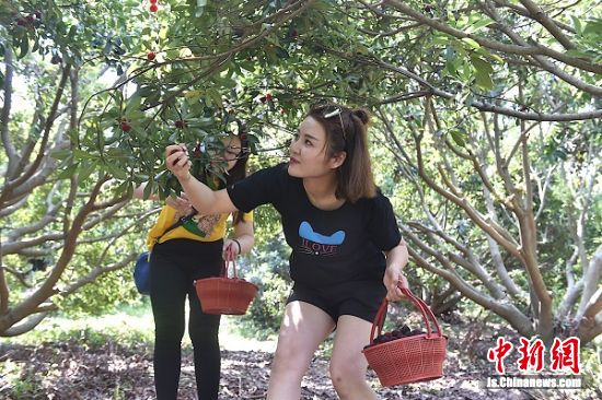 游客在杨梅园体验采摘。