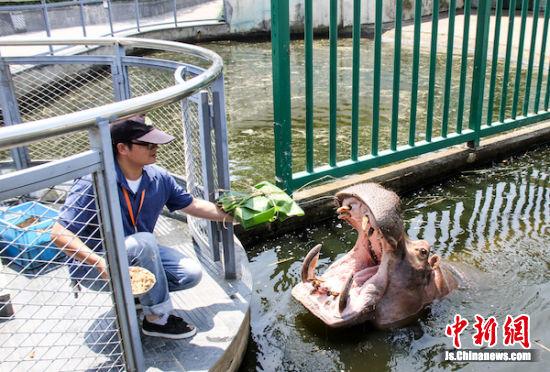大嘴河马吃超级大粽子。