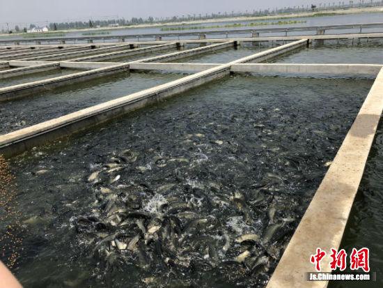 循环养殖池里鱼儿上下翻腾争抢食物。