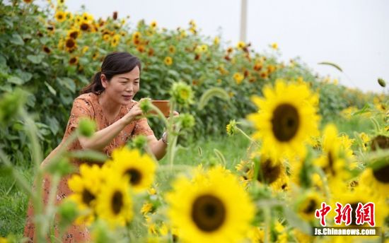 """游客拍下迷人的""""向阳花""""。 孙井贤 摄"""