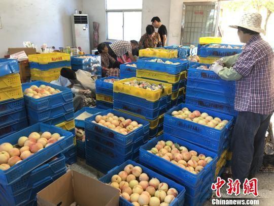 图为阳山桃农正在分拣优质水蜜桃。 孙权 摄