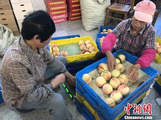 选出的优质水蜜桃将通过快递、商超等途径达到消费者手中。 孙权 摄