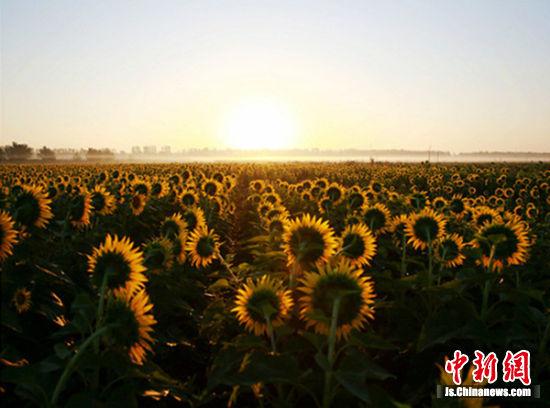 迎着朝阳,沛县安庄村600多亩葵花在凉爽秋风中热情绽放。