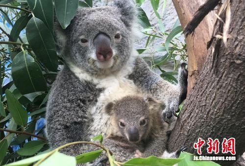 """南京红山森林动物园上演""""考拉BABY节"""""""