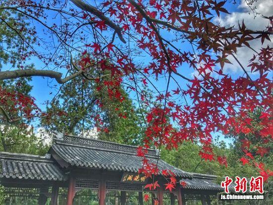 明镜湖前的枫叶红了,很是亮眼。