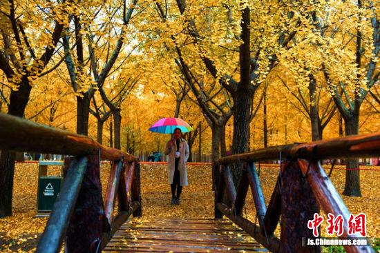 游客陶醉在银杏金秋美丽世界。