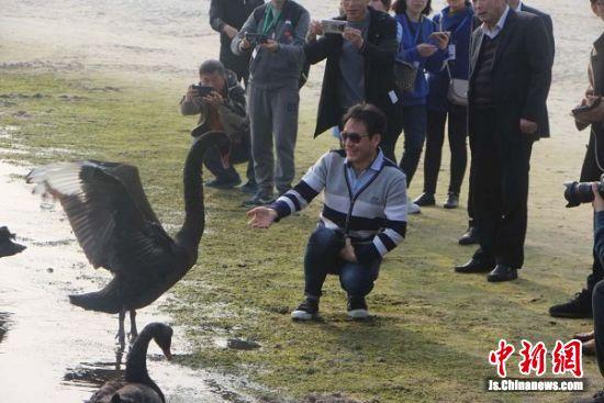江海晚报网记者周朝晖跟黑天鹅互动。 陆建国 摄