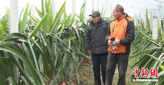 雎宁县的火龙果种植大棚