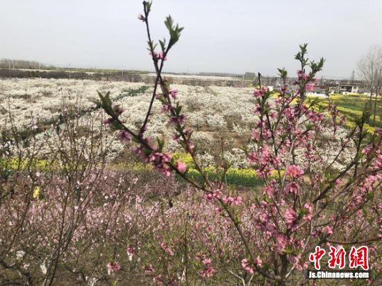 """龙冈桃园呈现""""桃红梨白菜花黄""""的美丽景色。 顾名筛 摄"""