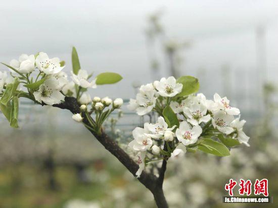 厚桥梨园花开似锦。