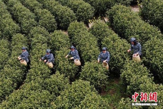 茶娘走进欣龙生态园茶园采摘茶叶。 泱波 摄