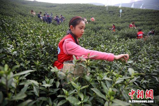 一名女孩在茶园采摘茶叶。 泱波 摄