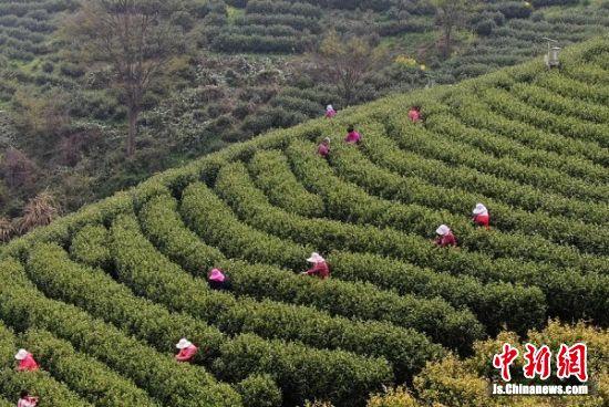 茶农在茶园采摘茶叶。 泱波 摄