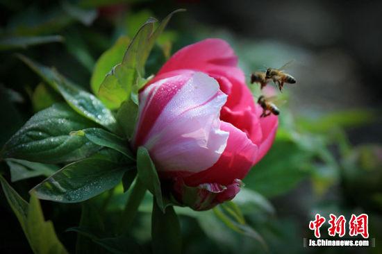 蜂恋牡丹。