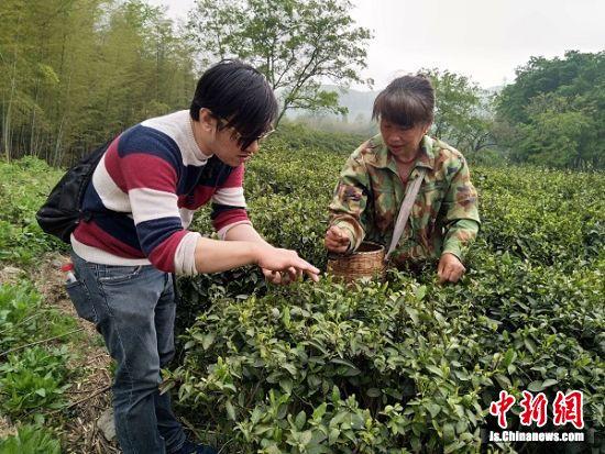 外籍友人在茶园摘取茶树嫩芽,了解金坛茶文化