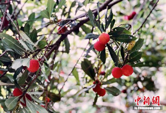 在马山,漫山遍野是成熟的杨梅。