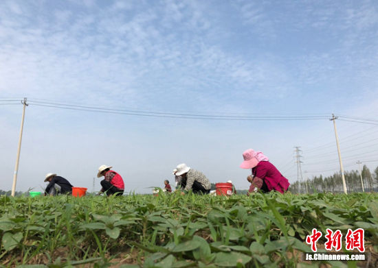 村民们集体在向日葵科普基地除草,每人每天六七十元工资,流转的田地每亩每年还有800元租金,年底还有土地入股分红。朱志庚摄