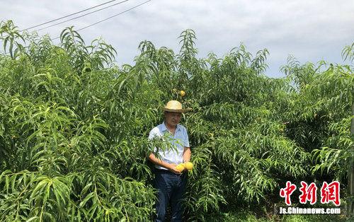 侍庄黄桃园老板李华林展示黄桃。 于从文 摄