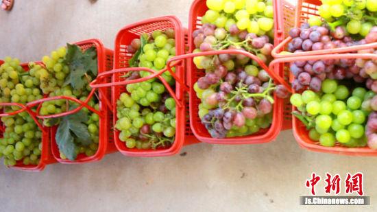 葡萄大丰收。张建设 摄