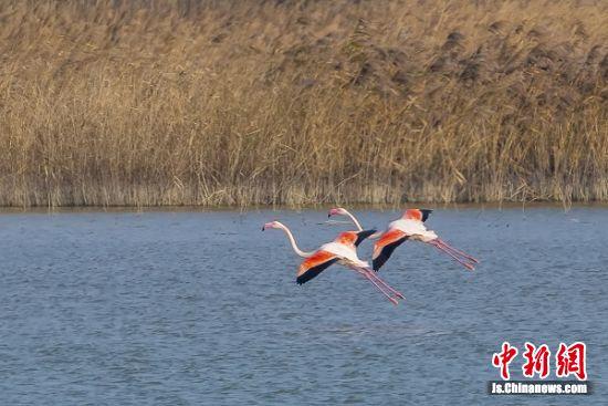 火烈鸟在水面翩翩起舞。 孙华金 摄