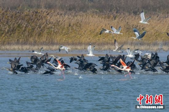 火烈鸟和其它越冬鸟类在一起。 孙华金 摄