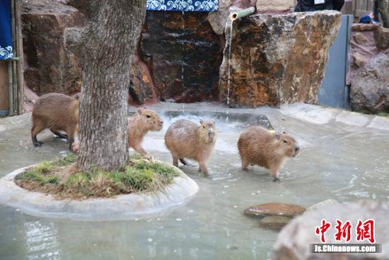 """水豚泡温泉,""""享受""""一番。"""