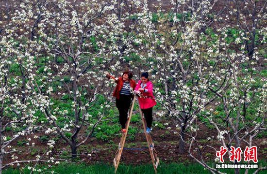 梨花开的季节,果农忙碌在黄冠梨产业园中。 大庙街道供图