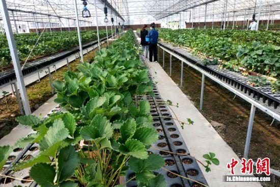 脱毒草莓育苗中心。