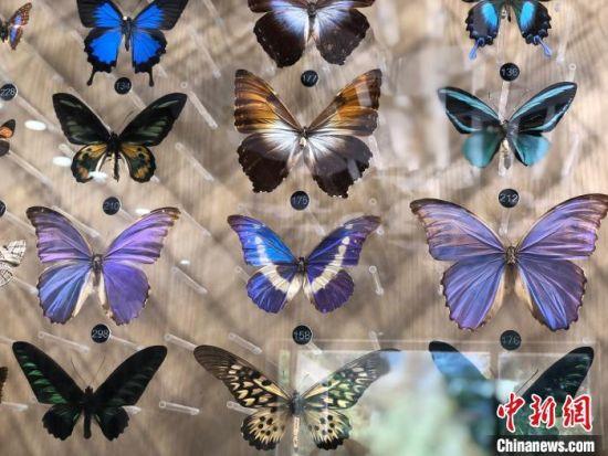 蝴蝶标本。 徐珊珊 摄