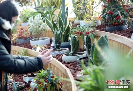 辛丑牛年新春将至,南京中山植物园展出众多与十二生肖紧密相关的植物。丁亮 摄