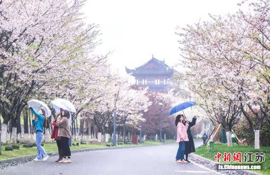 游客在大洋湾观赏樱花。大洋湾景区供图