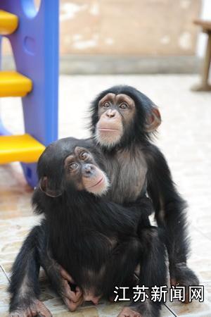 中新江苏网常州10月26日电 (许以海 娴婷)10月26日,江苏首次引进的国际濒危野生动物、世界一级保护动物非洲黑猩猩幼崽落户常州淹城野生动物世界。   这次引进前后用了大半年时间办手续,国内没有黑猩猩分布,但由于被列为《濒危野生动植物国际贸易保护协定附录》,所以仍然按照中国一级保护野生动物的国宝待遇层层严格审批。   常州淹城野生动物世界副总经理、动物专家李代兵说,世界上近半数的猴子和猿由于森林减少和人为捕猎正面临灭绝的危险。世界自然保护联盟(IUCN)已将634种已知灵长类动物中的近半