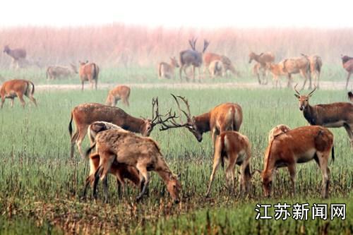 自然保护区麋鹿种群