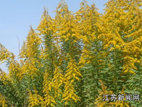 徐州再现成片一枝黄花