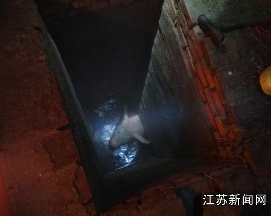 300斤公猪不慎掉入阴沟 南通消防将其救出--江