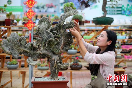 江苏育美森创始人李平正在修整即将赴北京参加园艺比赛的多肉植物,在她的带领下,当地村民和建档立卡户130人实现再就业。 中新社记者 泱波 摄